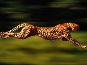 cheetah-300x225